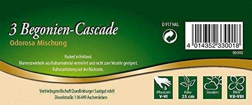 Quedlinburger 33000 Begonie Cascade Odorosa (Begonienzwiebeln)