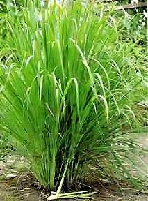 lemon-grass-indian-herb-30-seeds