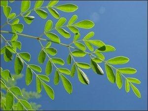 Preisvergleich Produktbild 10 Flowering DRUMSTICK TREE Moringa Oleifera Seeds (Miracle Tree / Ben Oil Tree) by Seedville