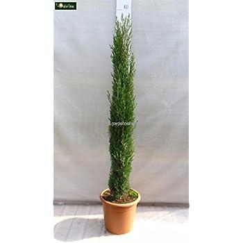 blauer raketen wacholder juniperus scopulorum blue arrow 50 60 cm hoch im 4 liter. Black Bedroom Furniture Sets. Home Design Ideas
