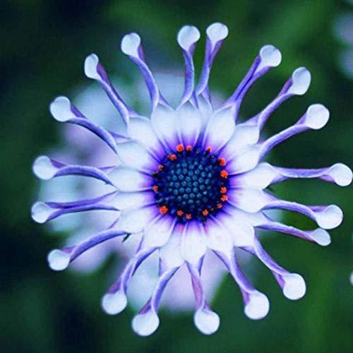 AIMADO Samen-50 Pcs Kapkörbchen \'Osteospermum\' Blau Blumensamen mehrjärig,Schöne, margaritenähnliche Blüten,Ideal für Beete, Kübel, Rabatten oder Balkonkästen