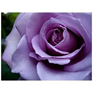 SODIAL(TM) Purple Rose Rare! 5 semi! Belli Color!
