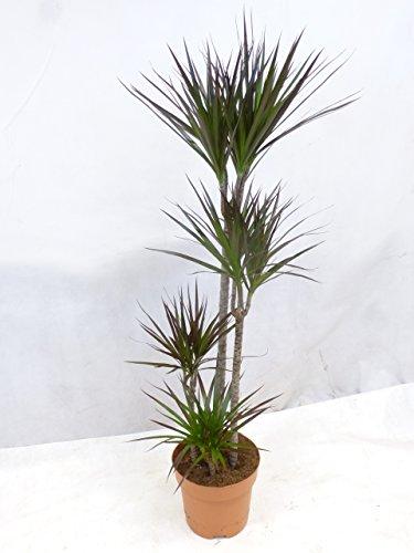 [Palmenlager] Dracaena marginata magenta - Drachenbaum/4er Tuff - 150/160 cm/mehrfarbig/Zimmerpflanze