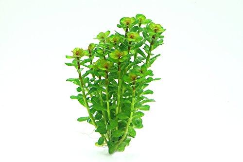Dennerle Plant It Invitro Live Aquarium Plant - Rotala indica - In-Vitro 4