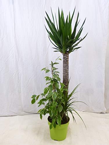 [Palmenlager] – Zimmerpflanzen MIX in einem Topf 150 cm- Arrangement – Yucca – Ficus – Dracaena // drei Klassiker in einem Topf