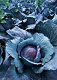 IDEA HIGH Semi-100 pezzi viola cavolo mille teste semi cavoletti di Bruxelles delizioso cavolo succoso mini vegetale piantina giardino impianto alimentare: 5