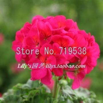 100seeds-bag-rich-semi-di-fiori-gardenia-floreale-grande-foglie-sempreverdi-semi-peonia
