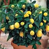 #5: Puspita Nursery Seedless Lemon Grafted Rasaali Variety Live Plant Fresh & Healthy