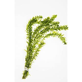 10 Lead Weighted Bunches of Elodea Densa Oxygenating Pond Plant 10 Lead Weighted Bunches of Elodea Densa Oxygenating Pond Plant 41h5dWwIMoL