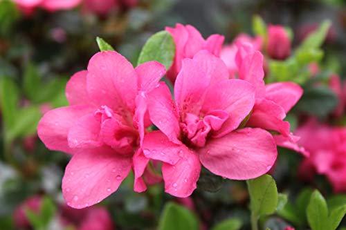 Rhododendron obtusum 'Rokoko' - Im 2 lt. Topf, Höhe ca. 20-25cm (2er-Set)