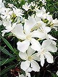Bonsai Nerium Oleander Seed (Nerium indicum Mühle) im Freien mit Charme Blumen-Baum blühende Pflanzen Garten-Dekoration 120 PC/Los 1