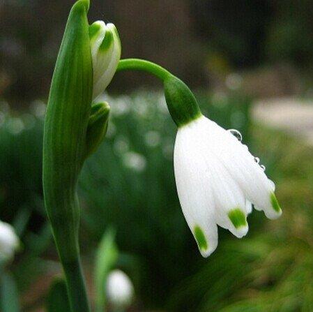 20 semi semi Bucaneve fiore comune Bello giardino di congelamento piante bonsai balcone fiori