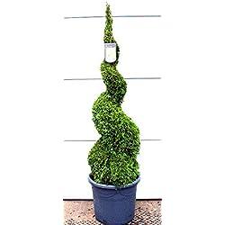 Thuja Spirale, Höhe: 140-150 cm, Smaragd-Edelthuja, Formpflanze, winterhart + Dünger