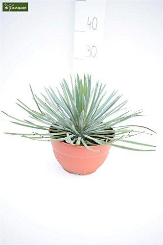 Palmlilie - Yucca Whipplei - Topf Ø 20cm