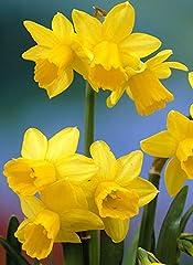 Idea Regalo - Bulbi di Narciso - ALTA QUALITA' OLANDESE SELEZIONATA (12, TETE-A-TETE giallo)
