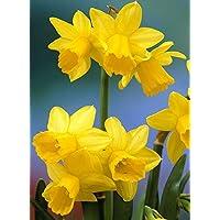 Bulbi di Narciso - ALTA QUALITA' OLANDESE SELEZIONATA (12, TETE-A-TETE giallo)