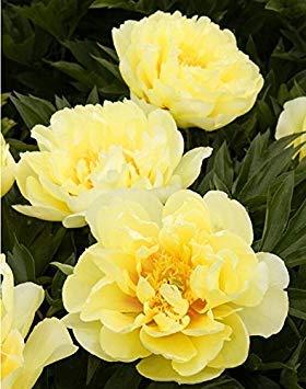 10pcs / sac de graines de pivoine, jaune, graines de fleurs de pivoine rose chinoise belles graines de bonsaï plantes en pot pour le jardin de la maison 5
