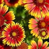 BloomGreen Co. Blumensamen: Gaillardia Pulchella Samen Winterblumen Samen Balkon Blumentopfpflanzensamen Garten [Home Garten Samen Eco-Pack] Pflanzensamen