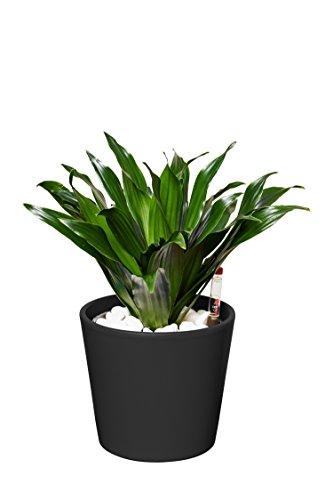 EVRGREEN Drachenbaum Pflegeleichte Kleine Zimmerpflanze in Hydrokultur als Geschenk-Set inkl. Keramiktopf Anthrazit