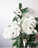 Go Garden - 100 Semi di Tartaruga Monstera per Bonsai, Colore: Bianco