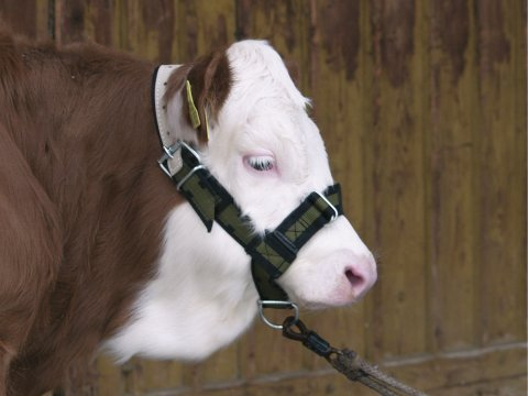 Halter for calves Test