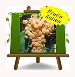 Vigne Malvasia Del Lazio - Plante de fruits vieux porte-greffe sur pot 20 - arbre max 170 cm - 2 a