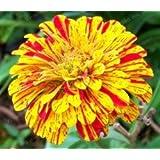 Plantas 25 colores Zinnia Semillas perenne de flores chino con Encanto en maceta Flores Semillas 100 PC / paquete imponente de Blooms Balcón 3