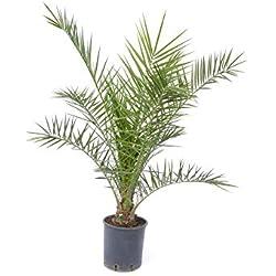 Palme 100-120 cm, Phoenix canariensis, kanarische Dattelpalme