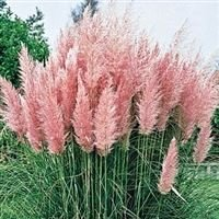 cortaderia-selloana-pink-feather-pampas-grass