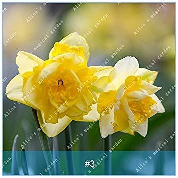 VISTARIC 7: 100 Pcs Opuntia Graines rares Figuier de Doux Haut nutritous Fruits Santã© Cactus Fleur Comestible Jardin Bonsait Succulent Plant 7