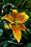 #9: Day Lilly Flower Bulbs (Mix) - Pack Of 4 Bulbs By Kraft Seeds