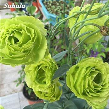VISTARIC mixtes: japonais Bonsai unique 50 Potted Pcs Helleborus Graines rares hiver Rose Fleur Diy jardin Plantes donc odorants et Belle