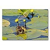 CALVENDO Tela in Tessuto di Alta qualità, 90 cm x 60 cm Orizzontale, con Rosa Stagno, Immagine su Telaio, su Vera Tela, Stampa su Tela Natur Natur
