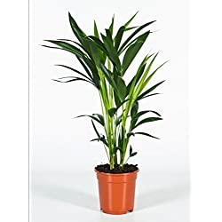 Kentia-Palme, (Howea Forsteriana), wunderschöne Zimmerpflanzepalme, sehr pflegeleicht (ca. 60 bis 80cm hoch)