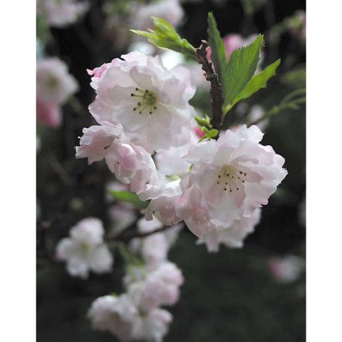 artplants Künstlicher Kirschblütenbaum, getopft, rosa Blüten, 120 cm – Kunstbaum mit Blüten
