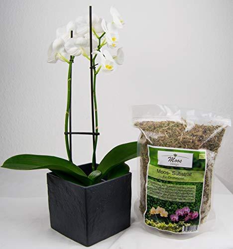 Moss Bonsai (Moos für Pflanzen Substrat wie Sphagnum für Orchideen Orchideenmoos Orchideen Substrat Bonsai Anzucht PREMIUM Pila Moss 125g)