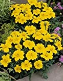 Bobby-Seeds Tagetes Samen DISCO Yellow, Studentenblume Portion