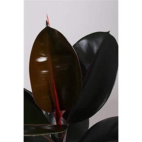 2 Stück Ficus Abidjan 30-40 cm Gummibaum Zimmerpflanze …