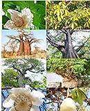 SANHOC Las Semillas del Paquete: Onia Fresco digitata Raras Baobab (Botella de Semillas Bonsai Semilla de floración exótico) 10 Semillas