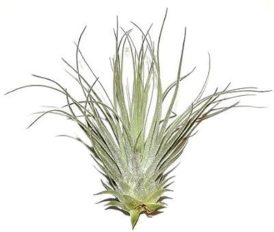 1 Tillandsia tectorum, Tillandsien für Terrarien, Aufsitzerpflanzen von 2022 - Du und dein Garten