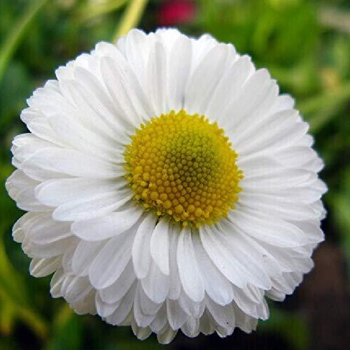 pittospwer 50pcs white daisy seeds facile da coltivare pianta da giardino ornamentale home garden decor