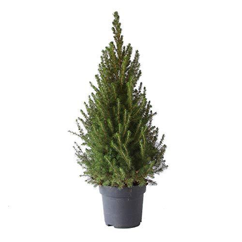 BOTANICLY | Weihnachtsbaum | Zuckerhutfichte | 85 cm
