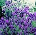 Französischer Lavendel, 100 Samen von Nuts n' Cones auf Du und dein Garten