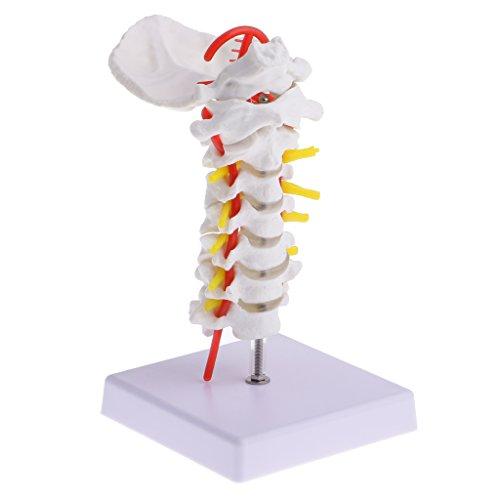 MagiDeal 1: 1 Lebensgroße Menschlichen Halswirbel Karotis Arterie Flexible Modell für Schule Anatomische Medizinische Studie Kit