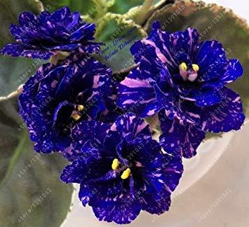 Fash Lady 100 teile/beutel african veilchen samen, bonsai blumensamen, garten blumen violet samen mehrjährige kraut blumentopf für hausgarten 8