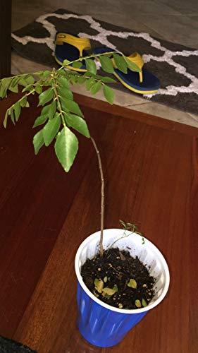 Generic Starter Pflanze Kadi Patta Curry Leaf (Murraya Koenigi) gegründet Wurzel mit Soil