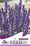 Semi viola Salvia Farinacea Mealy Sage erbe perenne fiore, pacchetto originale, 20 semi / pacchetto, Hardy Mealycup Sage A225