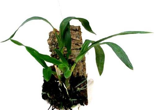 Mühlan Orchideen 1911