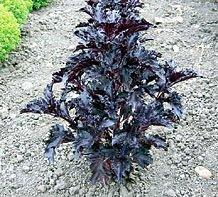 JustSeed Saatgut, Basilikum Purple Ruffles Ocimum basilicum, 150 Samen