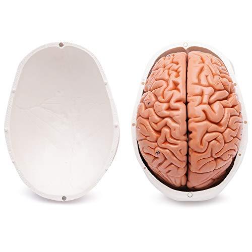 Zoom IMG-3 cranstein e 236 cranio umano